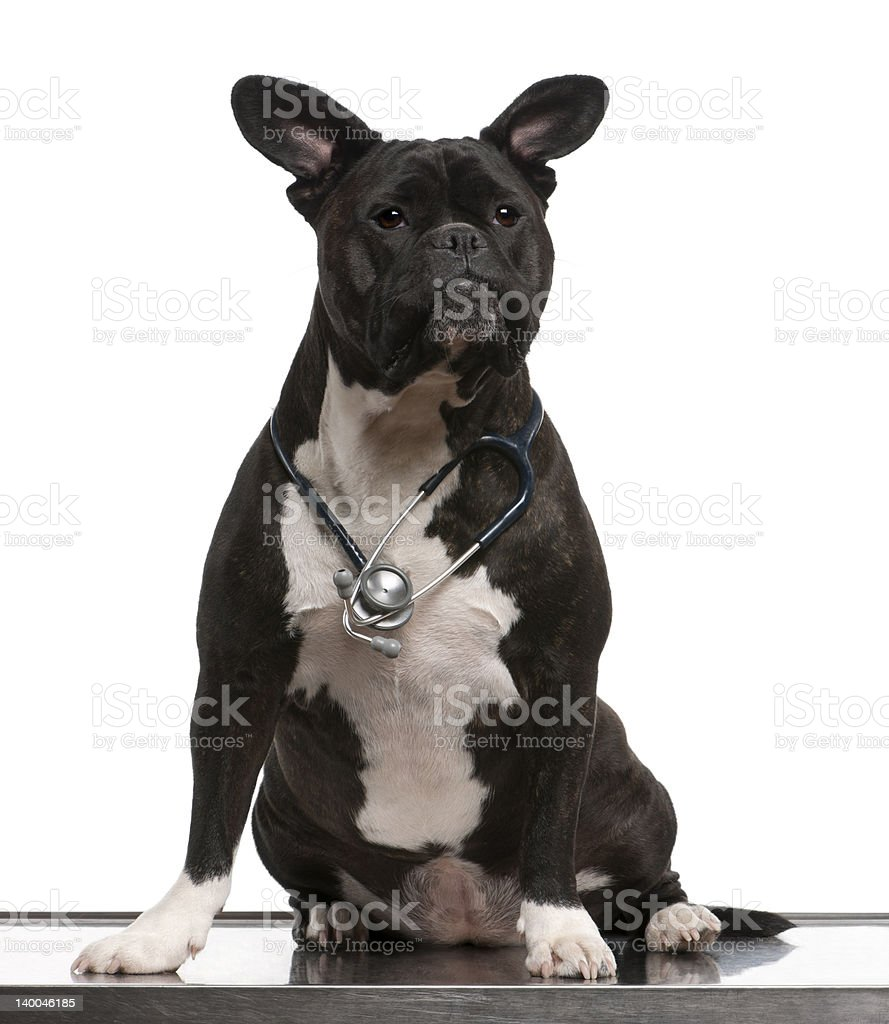 Crossbreed dog wearing a stethoscope in front of white background stock photo
