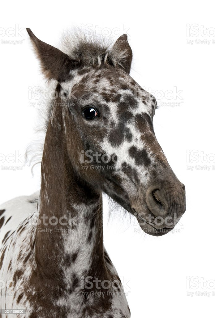 Crossbreed Foal between a Appaloosa and a Friesian horse standing stock photo