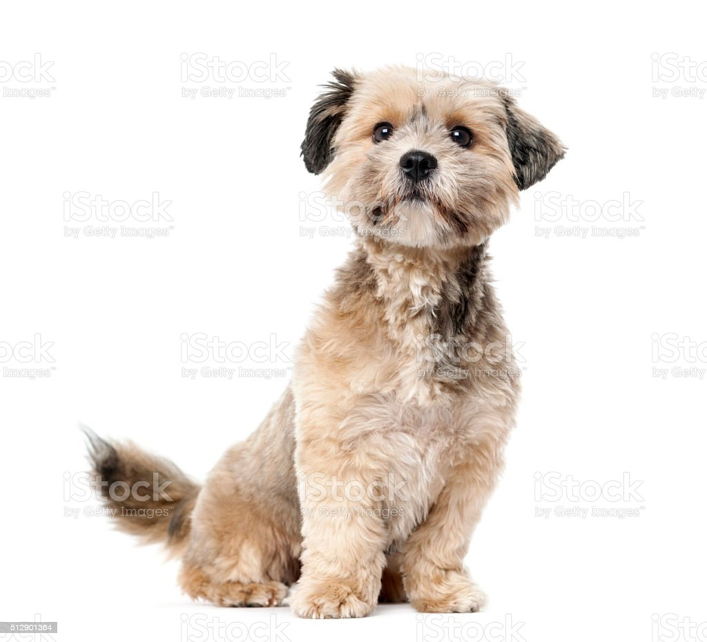 Crossbreed (1 year old) in front of a white background stock photo