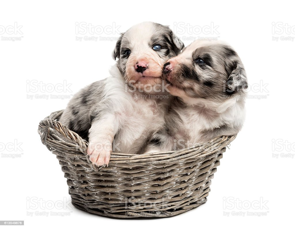 crossbreed puppies playing in a basket stock photo