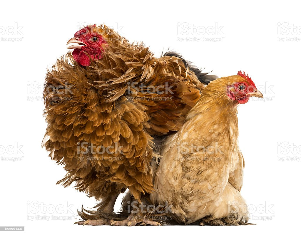 Crossbreed rooster, Pekin and Wyandotte stock photo