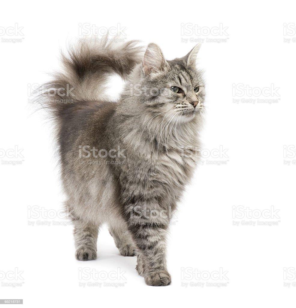 Crossbreed Siberian and persian cat stock photo