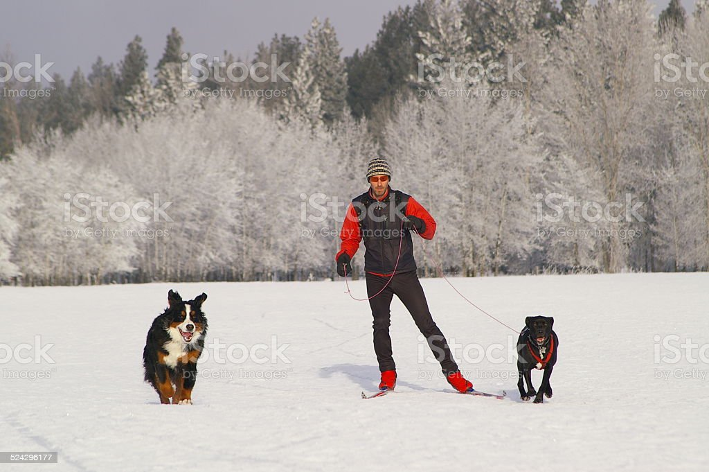 Crosscountry skier with dogs on a frosty winter day stock photo
