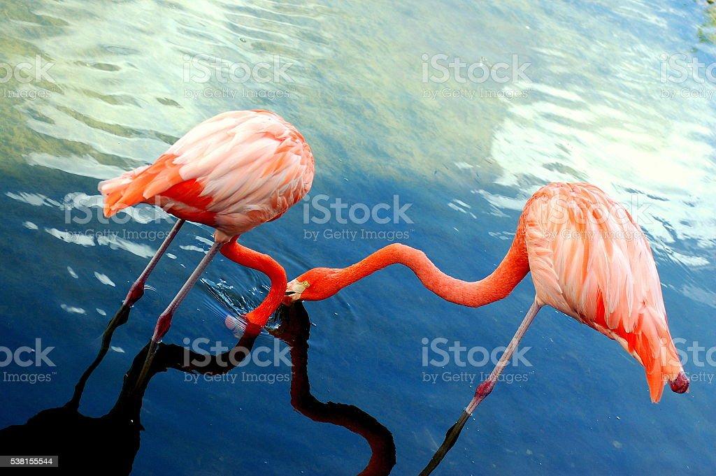 Crossed Flamingos stock photo