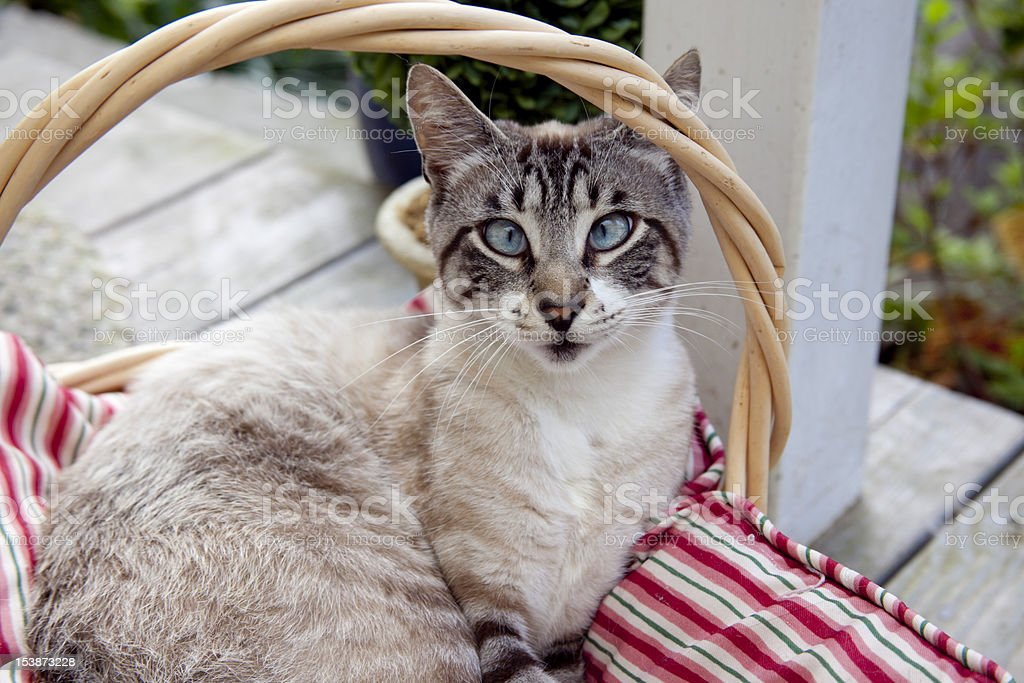 Cross-Eyed Cat royalty-free stock photo