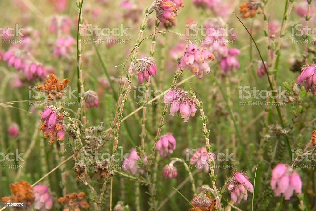 Cross-leaved Heath (Erica tetralix) stock photo