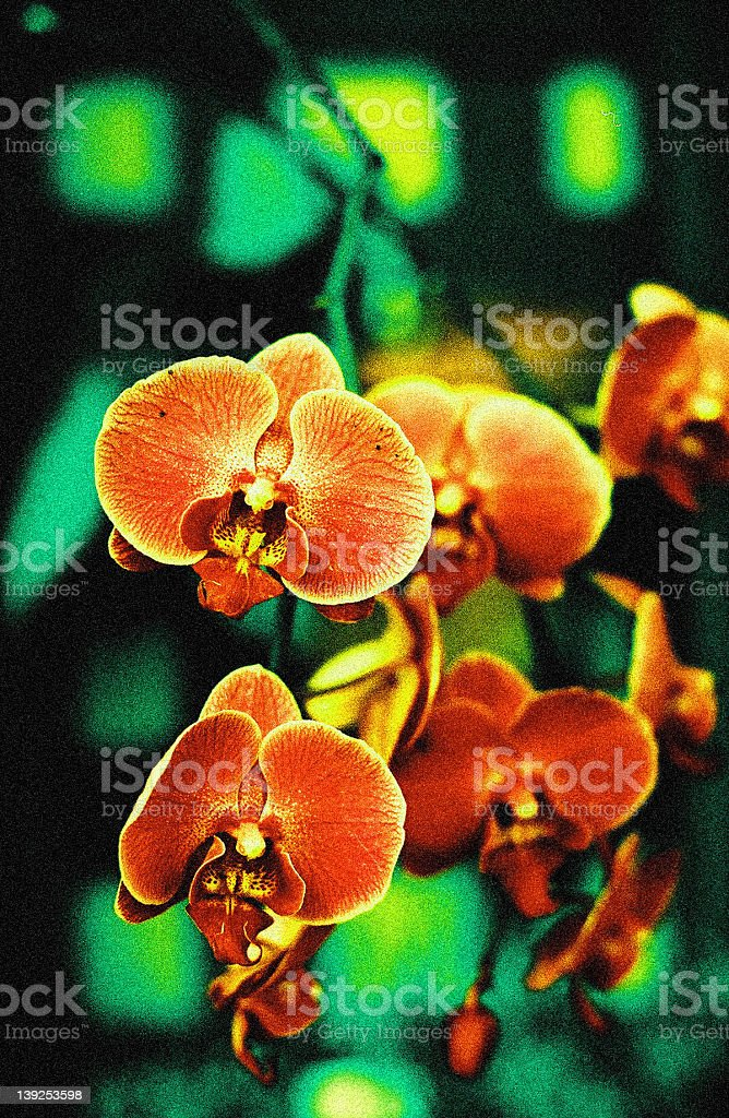cross-processed orchids royalty-free stock photo