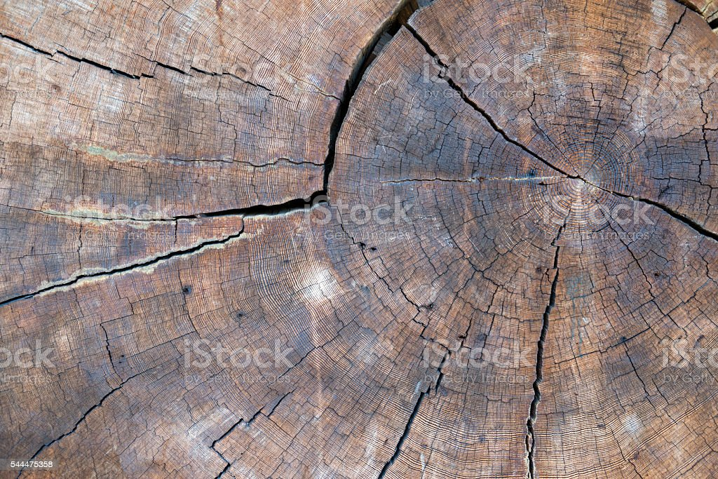 Cross-section of 500 year old Douglas fir tree stock photo