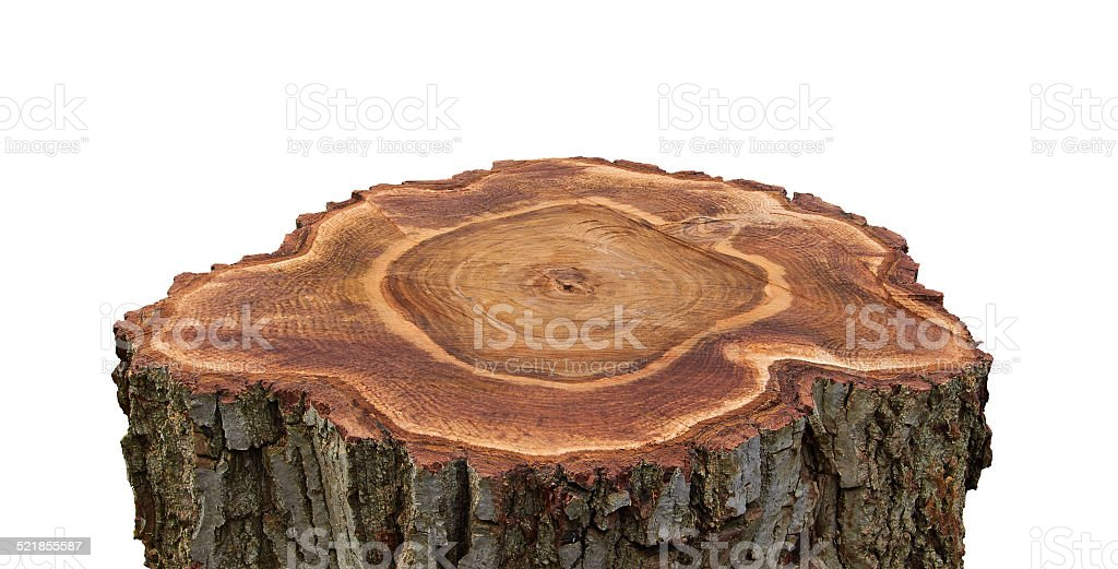 cross-section of a nut tree royalty-free stock photo
