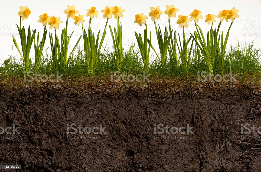 Cross-section of earth with blooming grass and daffodils stock photo