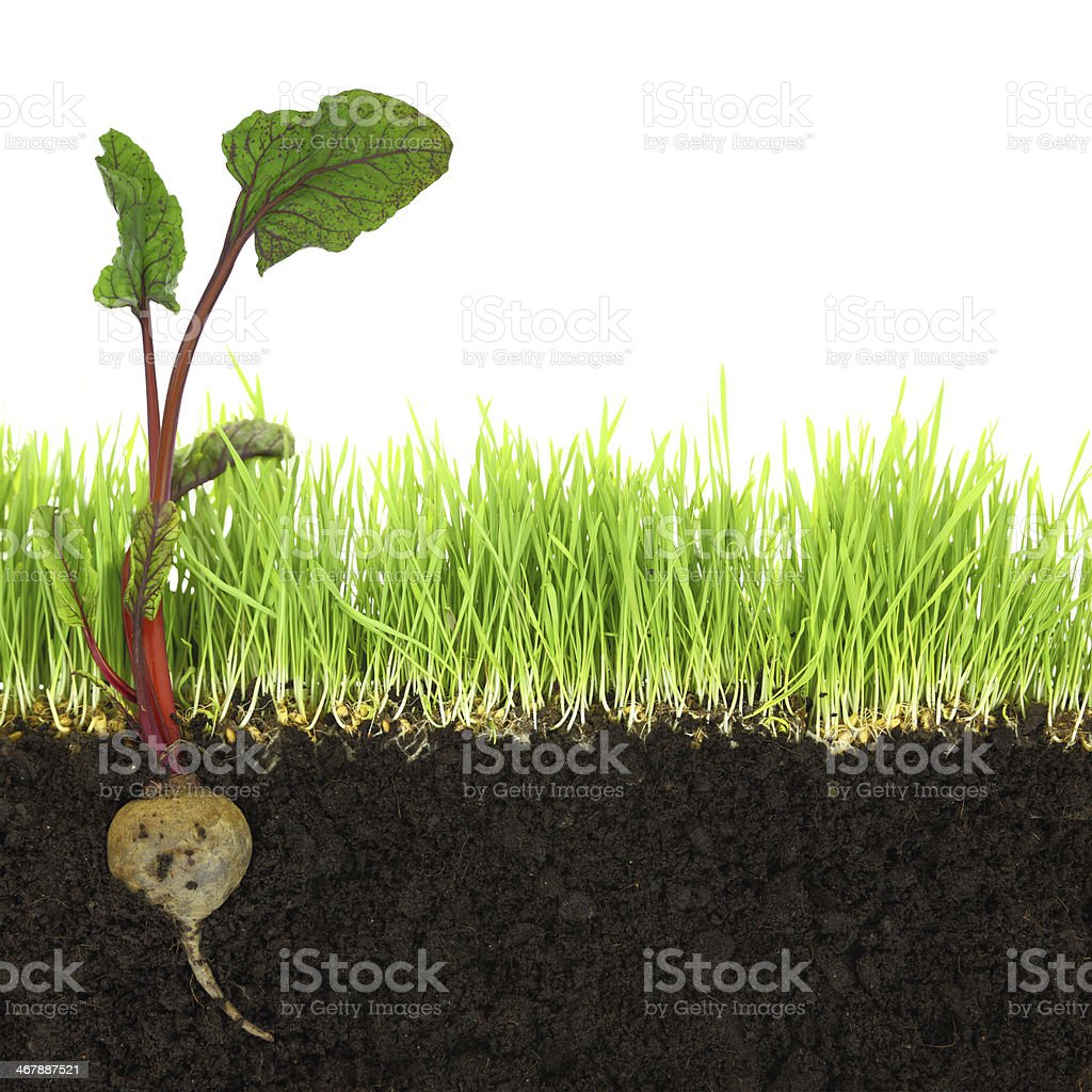 Cross-section of soil and grass with beetroot isolated stock photo