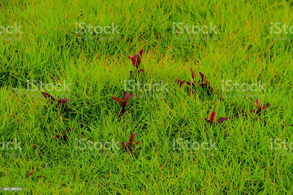 croton or Codiaeum background.with sunlight in the morning. stock photo