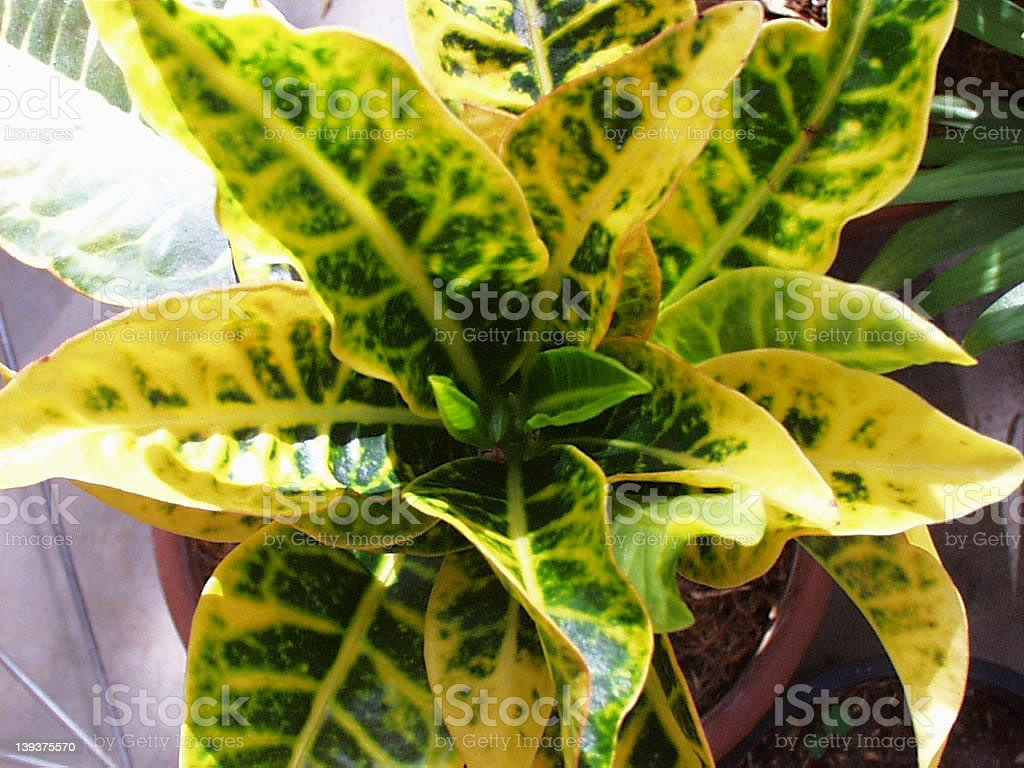 Croton Plant royalty-free stock photo