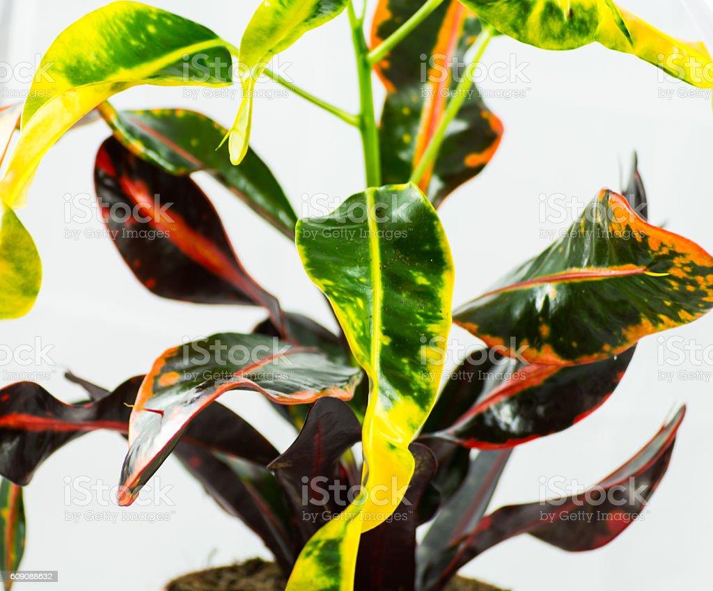 Croton plant stock photo