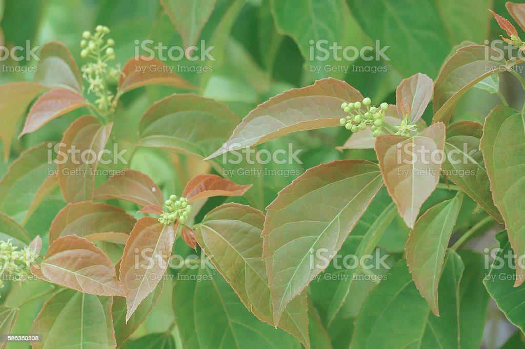 Croton tiglium Linn with new leaves sprout as background stock photo