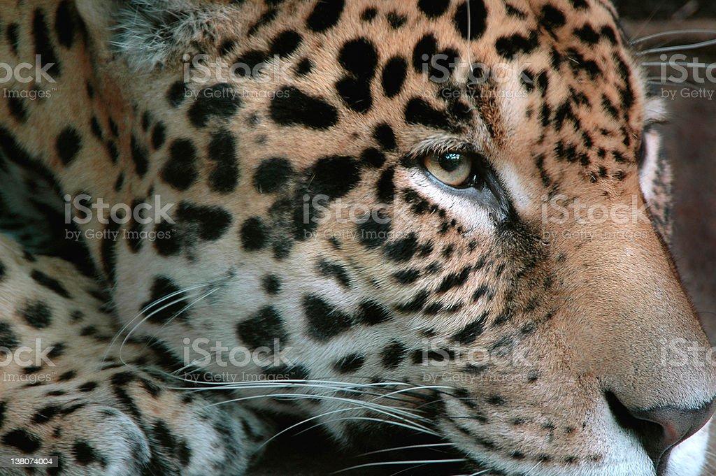Crouching Jaguar royalty-free stock photo