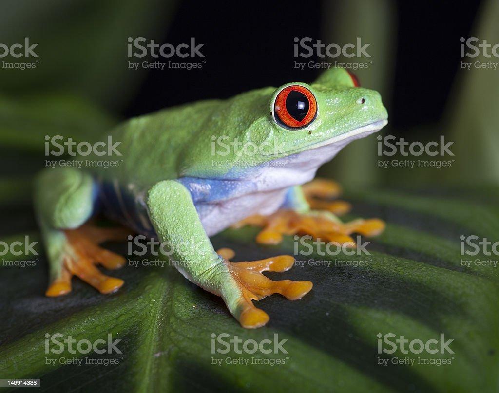 Crouching Red-Eyed Tree frog stock photo