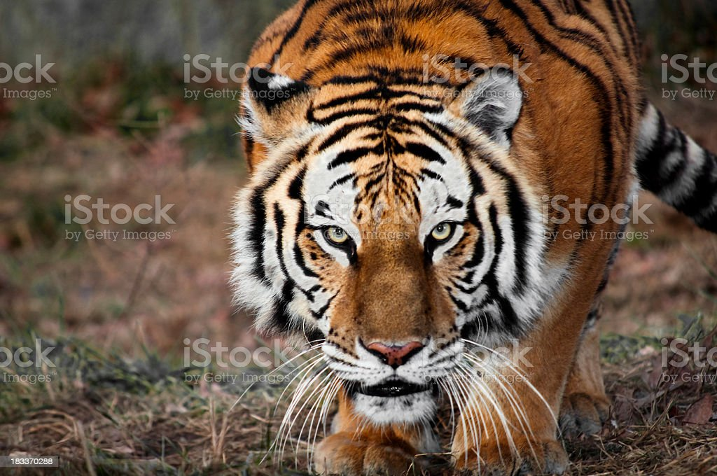 Crouching tiger stalking its dinner stock photo