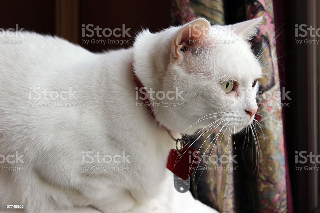 Crouching White Cat with Collar and Tags Watches Birds stock photo