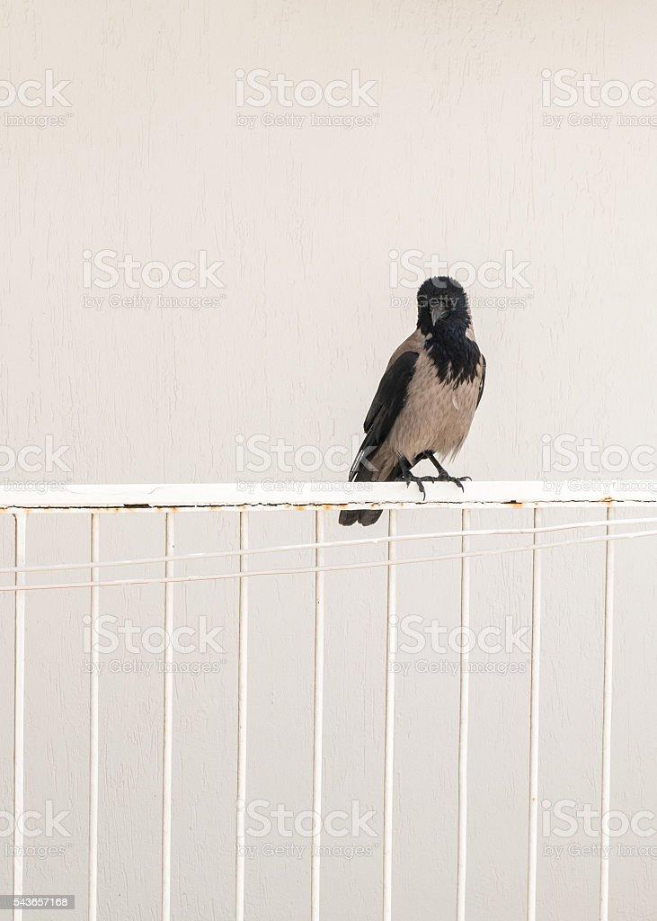 crow bird standing at balcony stock photo