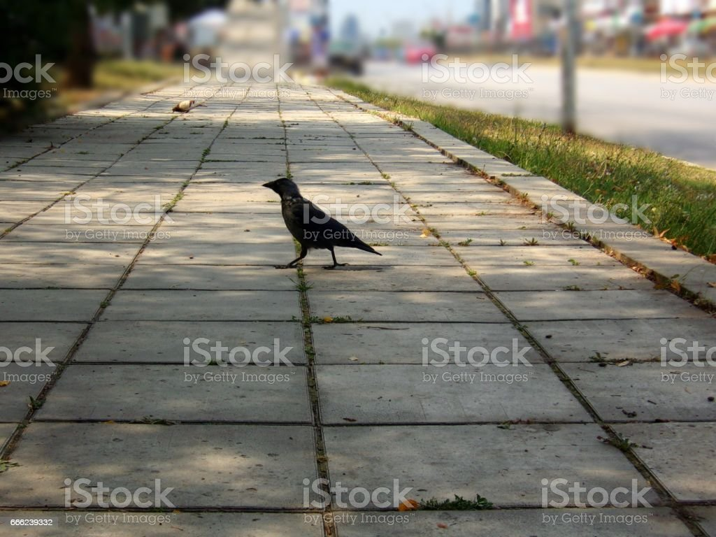 978- A crow crossing the sidewalk stock photo