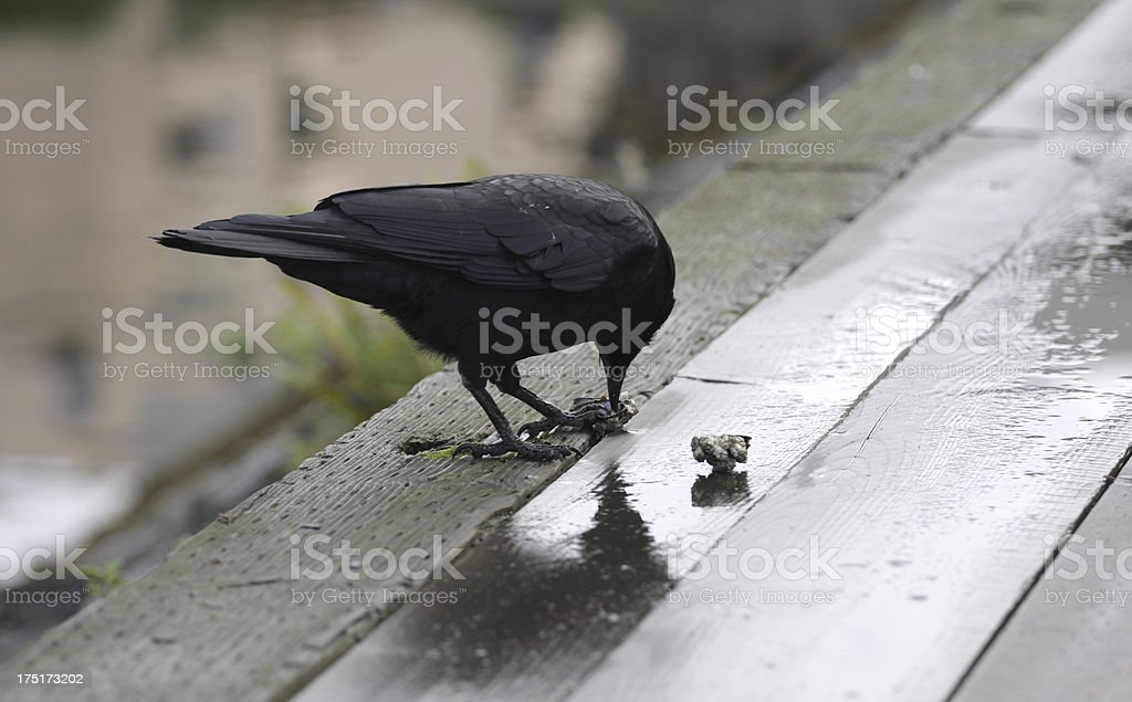 Crow Eating Mussels in Vancouver, British Columbia, Canada royalty-free stock photo