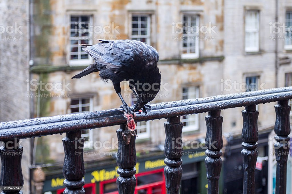 Crow feasting on a mouse stock photo
