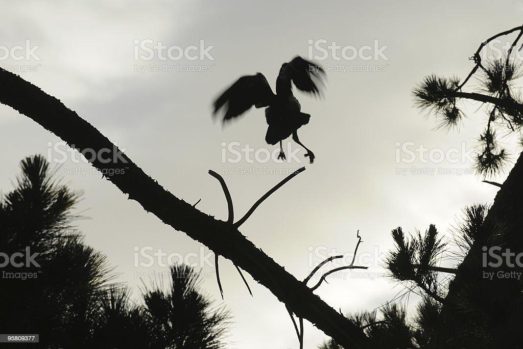 Crow Flight stock photo
