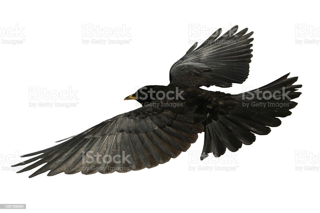 Crow Flying bird from above - isolated Raven stock photo
