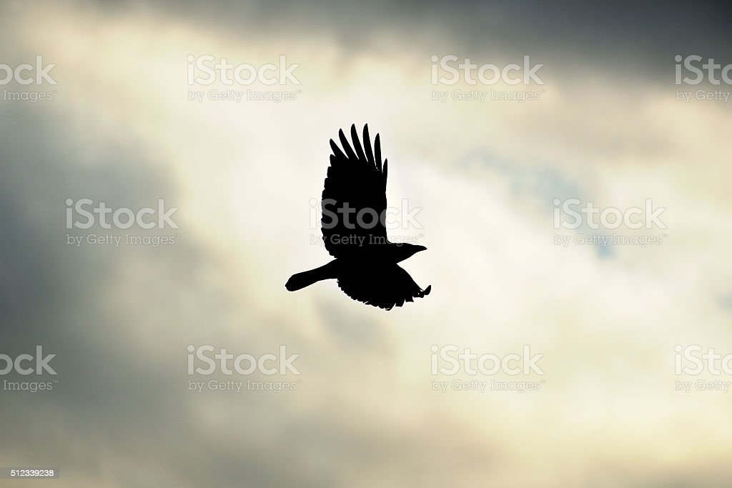 Crow flying in the dreary sky. stock photo
