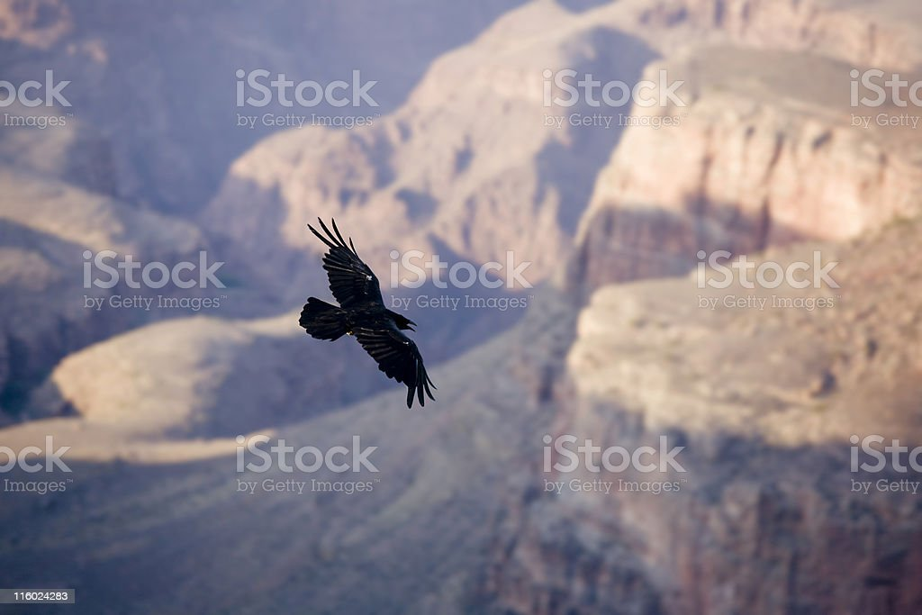 crow in flight grand canyon stock photo