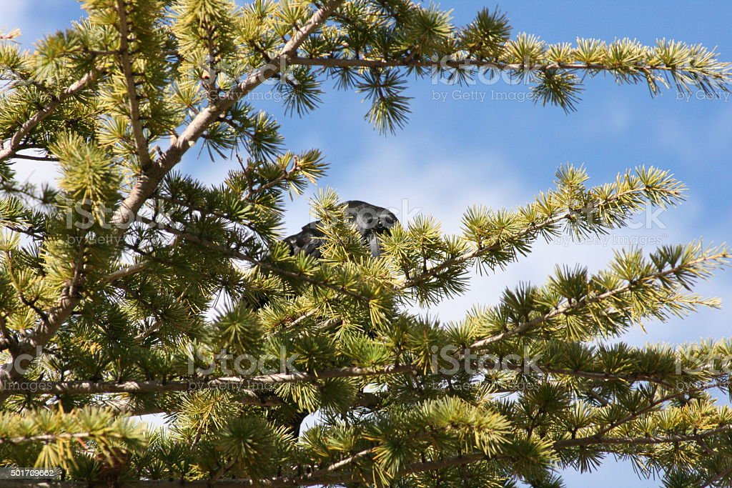 Crow in tree, hiding behind needles stock photo