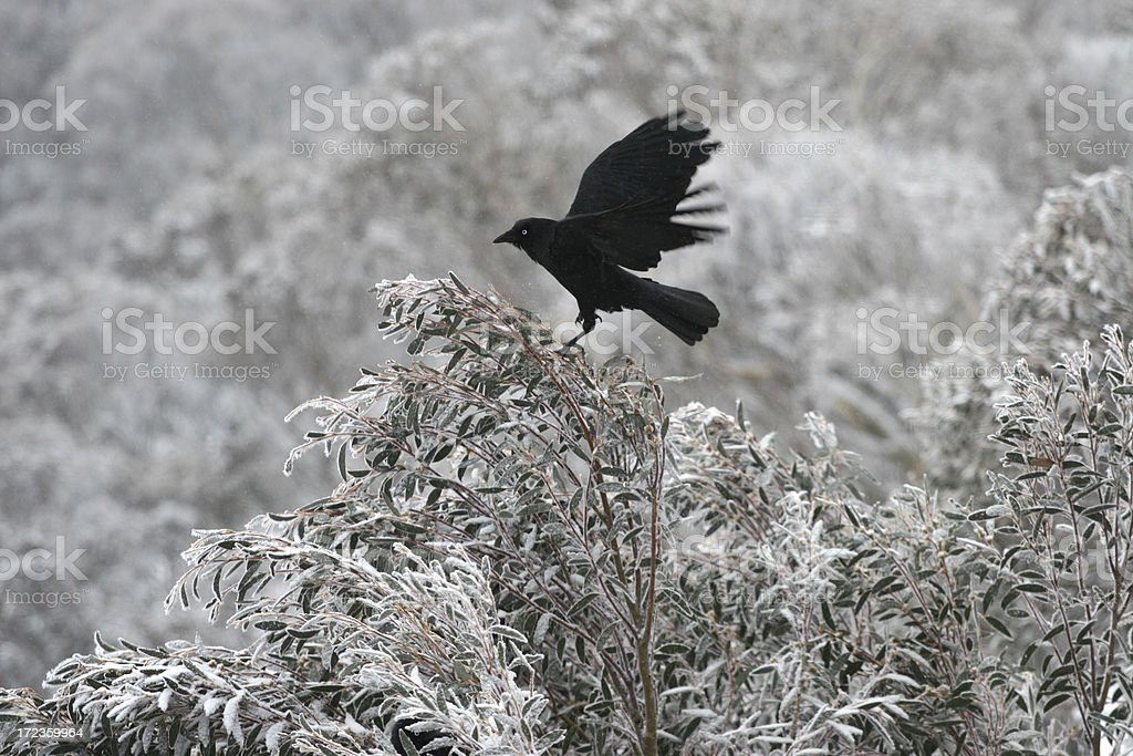 Crow landing on the tree tops royalty-free stock photo