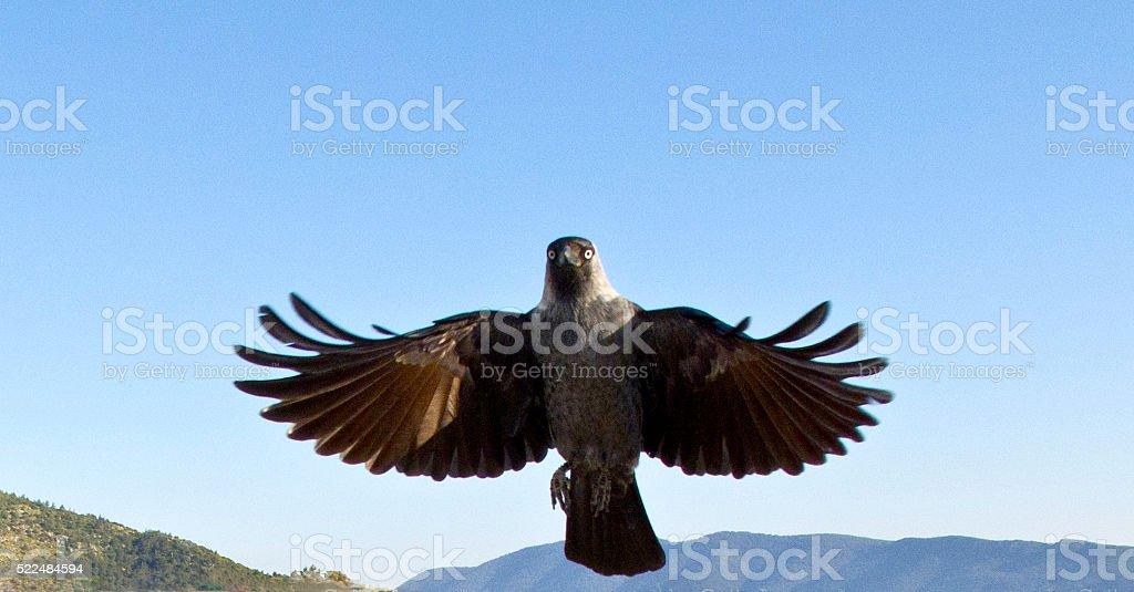 Crow Landing stock photo