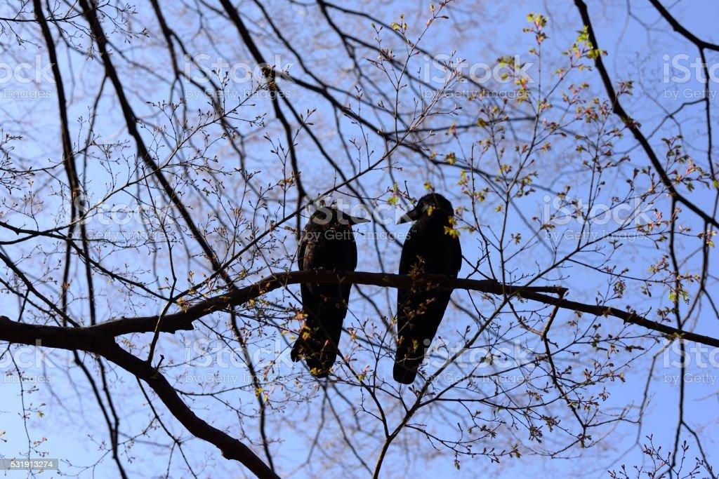 Crow love stock photo