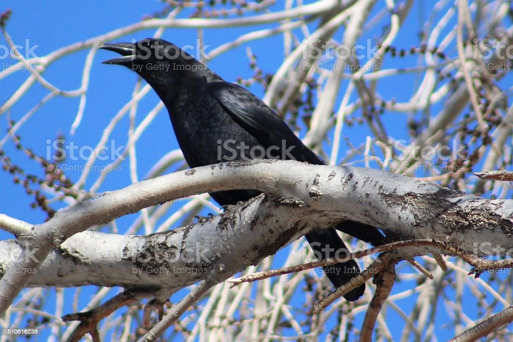 Crow on a Branch, Cawing stock photo