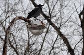 Crow on a rusty lantern