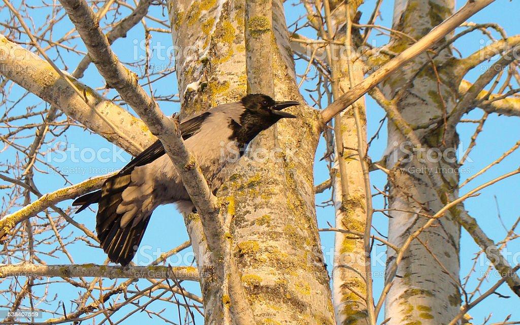 crow on a tree stock photo
