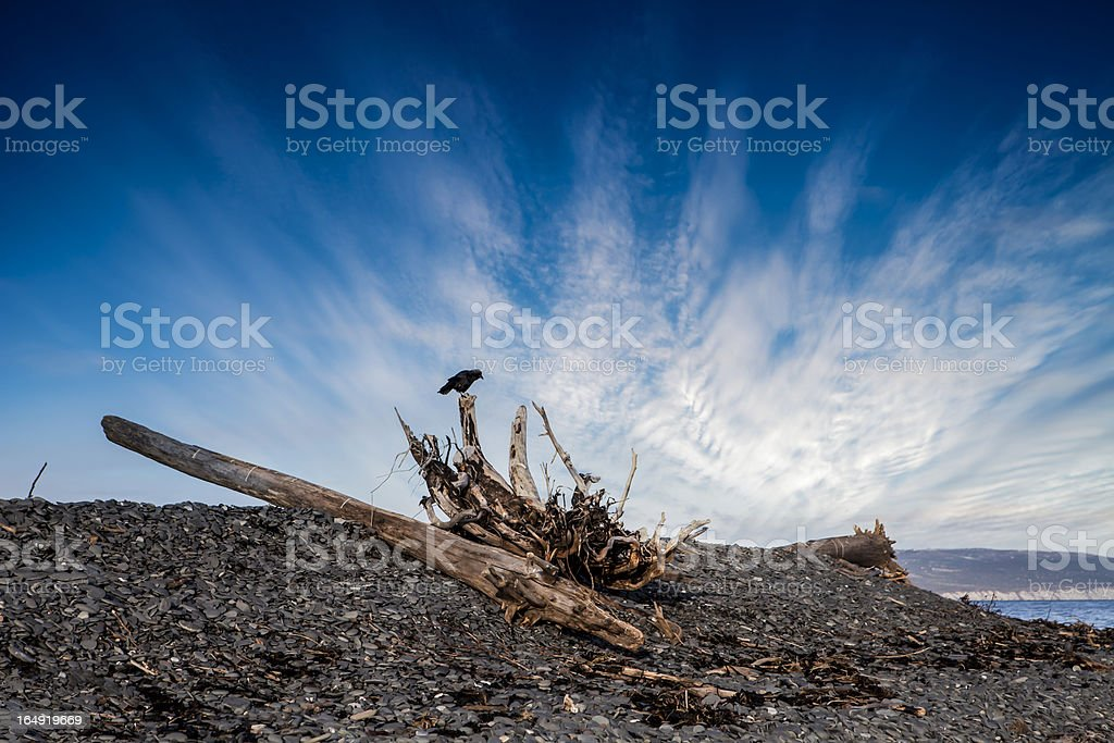Crow on Driftwood royalty-free stock photo