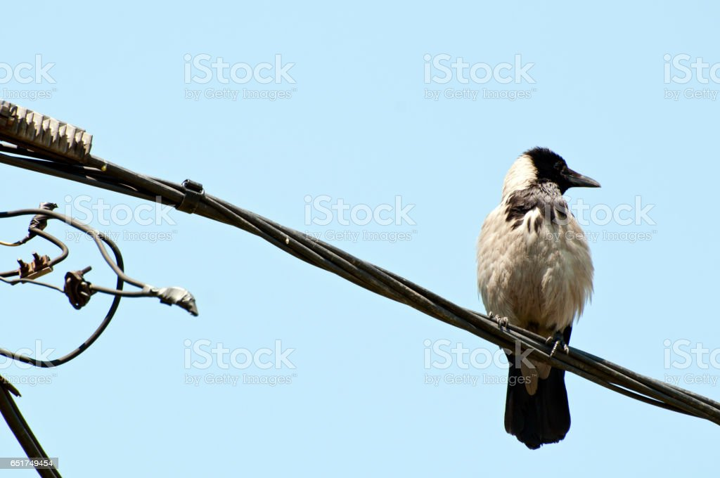 Crow on electric cablle over sky stock photo