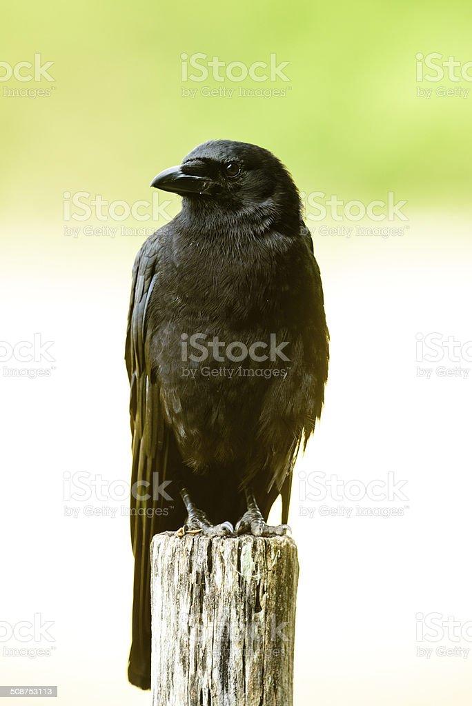 Crow on fencepost royalty-free stock photo