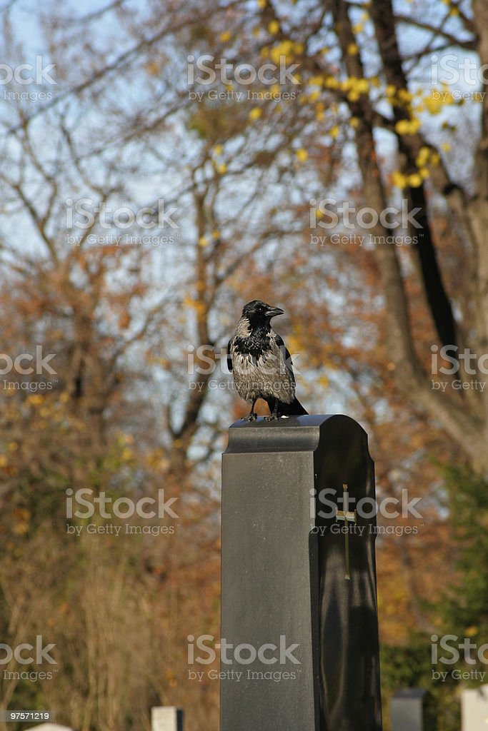 crow on gravestone stock photo