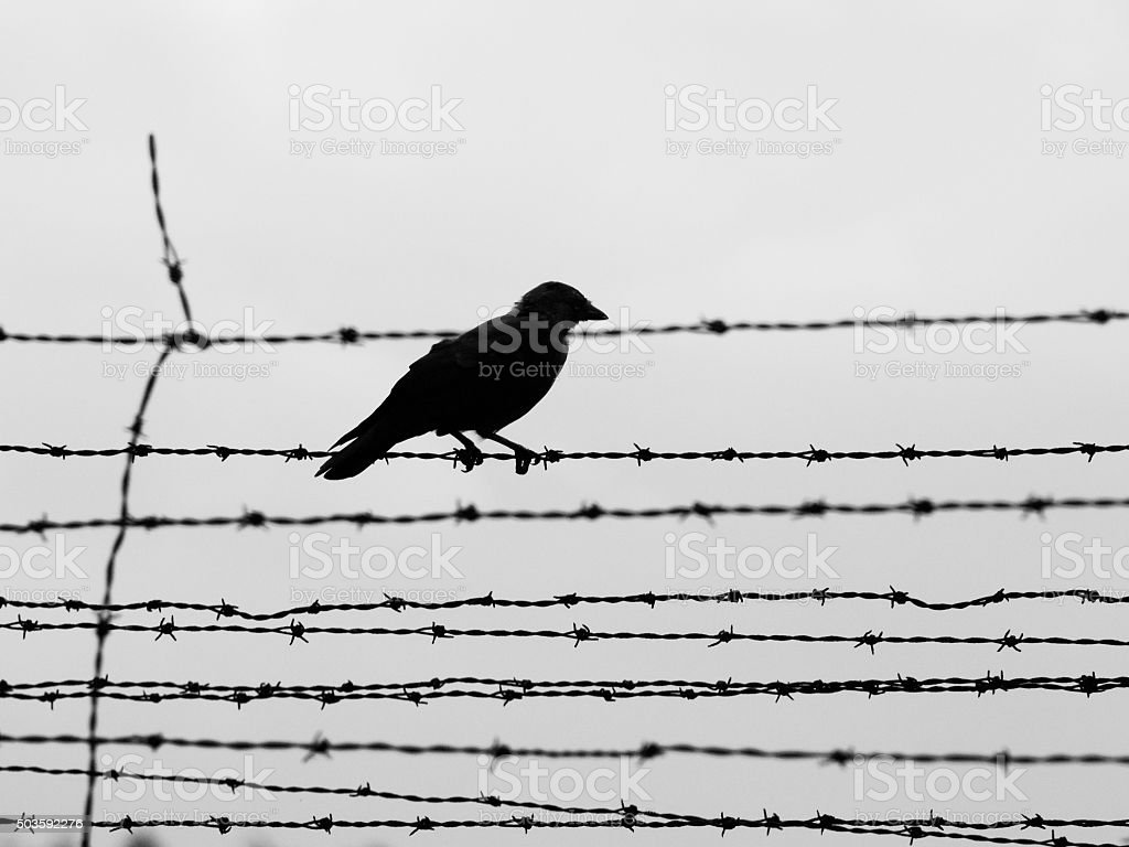 Crow on the barb wire fence stock photo