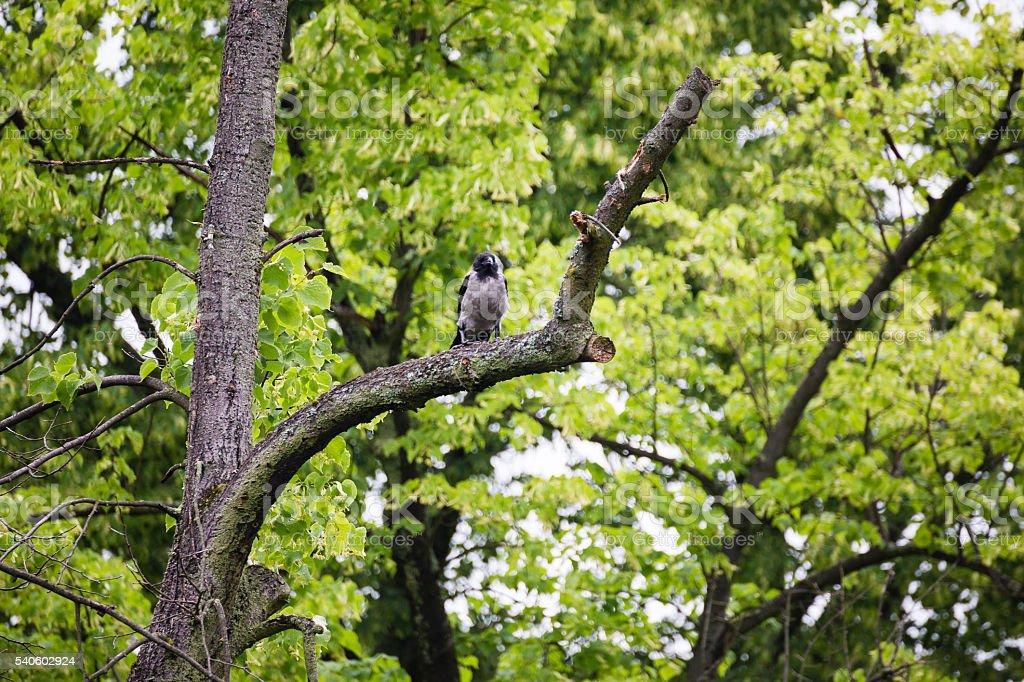 Crow raven sitting on tree stock photo