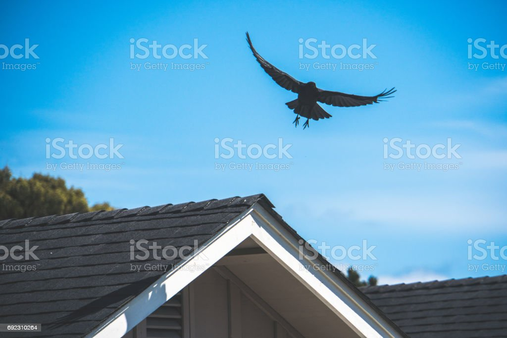 Crow taking off stock photo