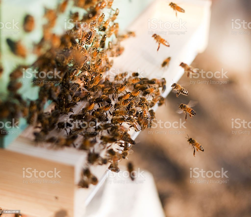 Crowded Honey Bee Hive Entrance royalty-free stock photo
