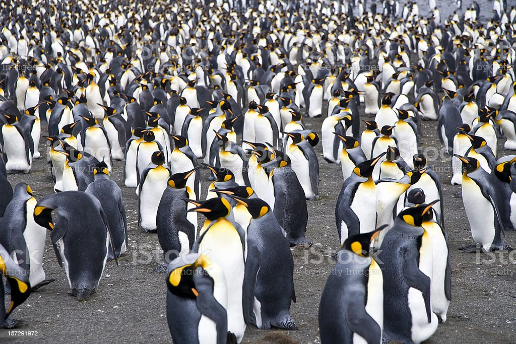 crowded penguin colony stock photo