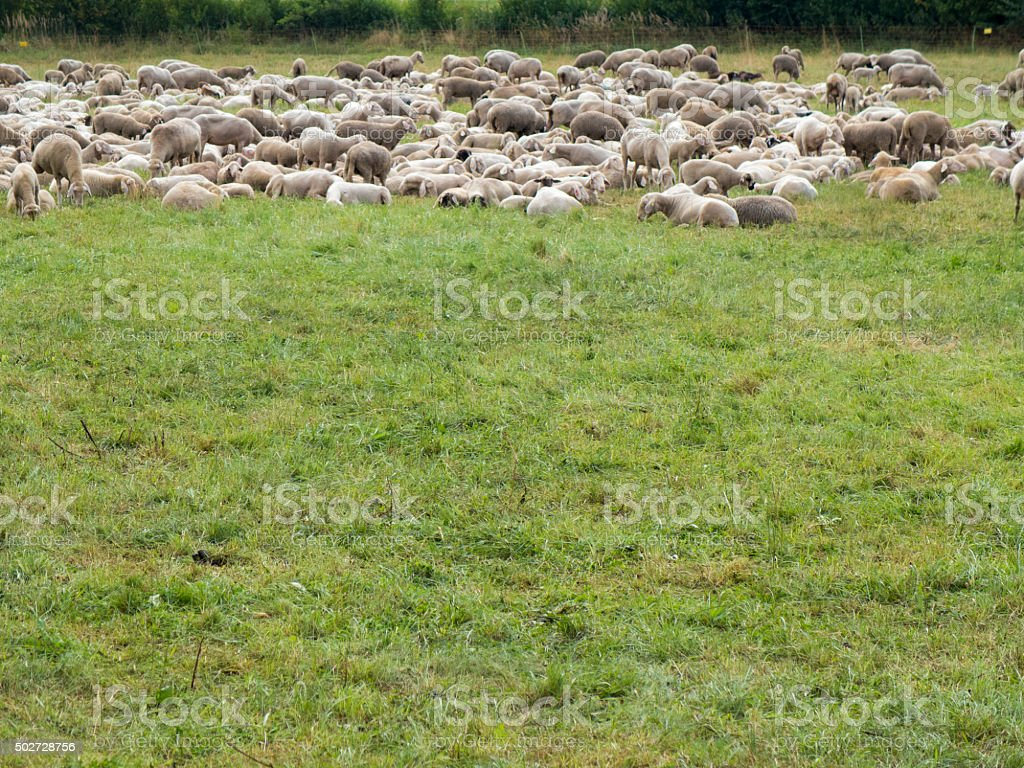 Crowded Sheep on green meadow stock photo
