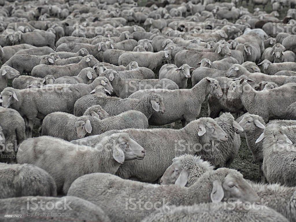 Crowded Sheep stock photo