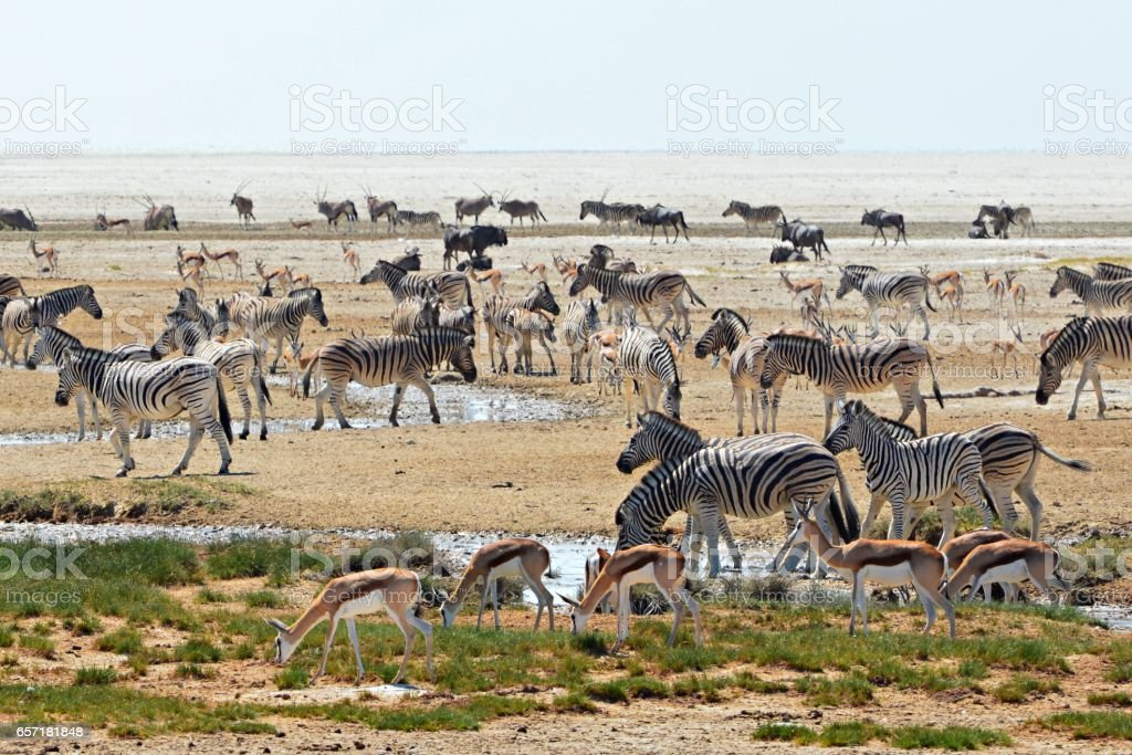 Crowded waterhole in the Etosha National Park in Namibia stock photo